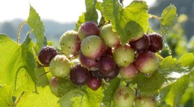 Video Thumbnail - youtube - Hinnant Family Vineyards in Pine Level, NC.