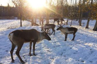 Solstice - reindeer