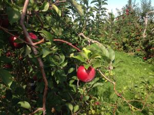 Apple Orchard in New York State