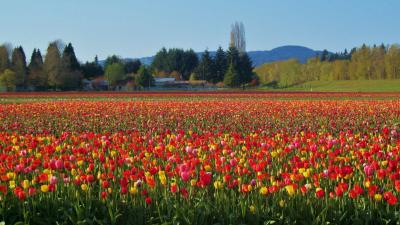 Woodland Tulip Festival