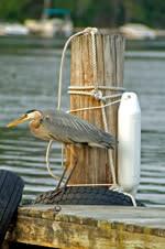 Heron on dock