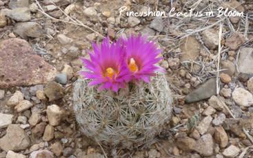Gila Cliff - Pincuhshion Cactus