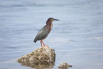 green heron quonnie