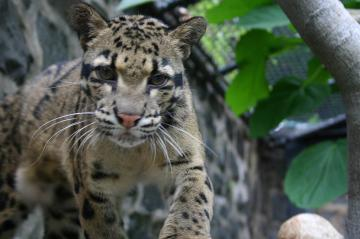 Brandywine Zoo Clouded Leopard