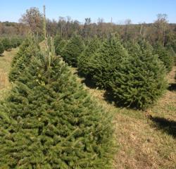 Middleburg Xmas Tree Farm