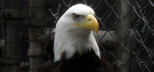 Montgomery the Eagle