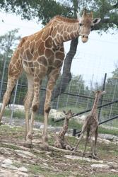 Giraffe with babies