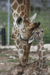 Mom nuzzling baby giraffe