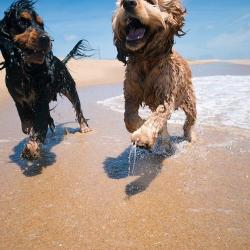 Dogs playing on the beach in The Outer Banks