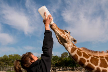 Giraffe being fed with a bottle