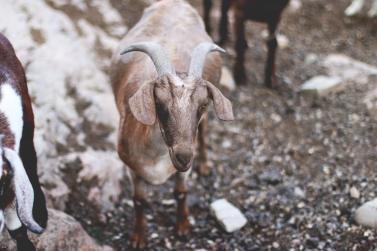 Goat at Carmelis Goat Cheese