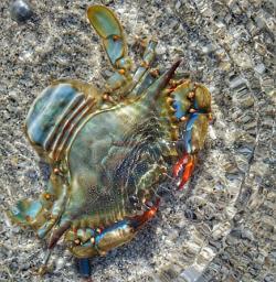 Blue Crab at Stump Pass