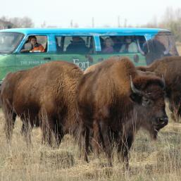 The Bison Safari at FortWhyte Alive. Photo by Stan Swanson.