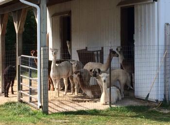 Montrose Farms female alpacas barn