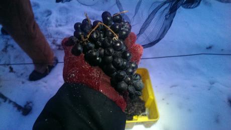 Ice Wine graps just picked at Casa Larga Vineyards