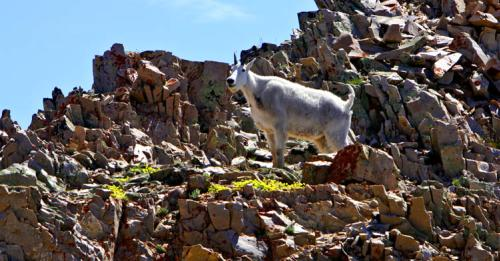mountain goat on timp