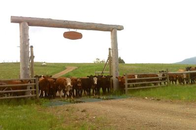 Cows at the gate