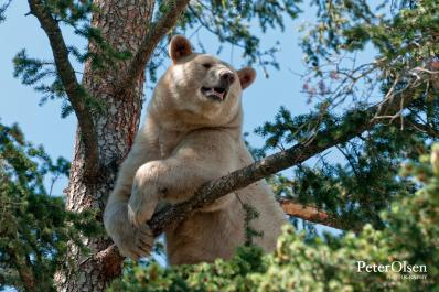Clover the Kermode Bear