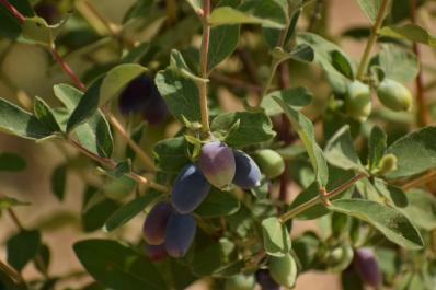 Haskap Berries at Monte Creek Ranch