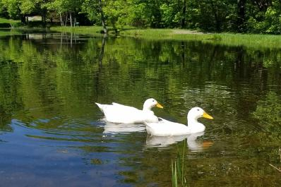 Kymer's Camping Resort Ducks