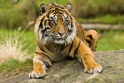 Pt Defiance Zoo Tiger