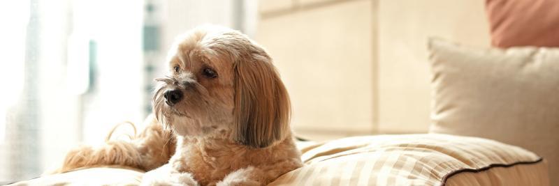 hyatt dog