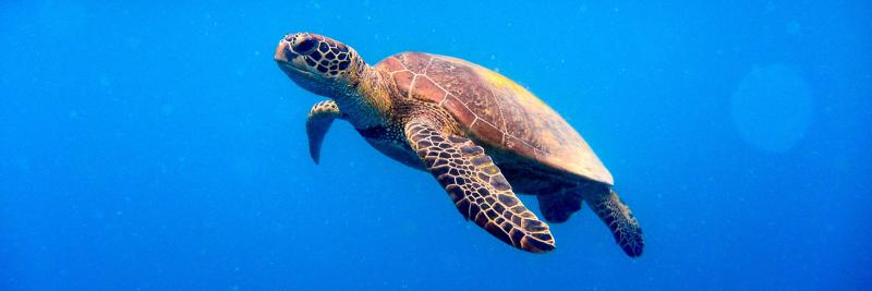 Sea turtle in the ocean