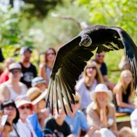Black Vulture Bird Show