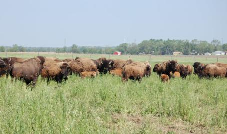 Broken Wagon Bison Hobart Things to Do in the field