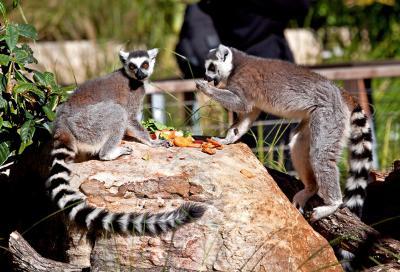 Lemurs Zoo