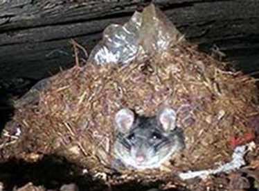 Cave Rat