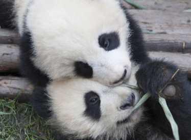 IMAX Pandas 1