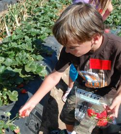 A boy picks strawberries at Tanaka Farms in Irvine, CA