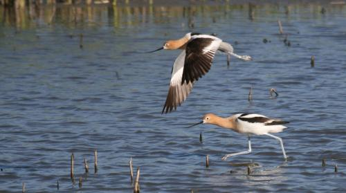 Avocet - Great Reasons To Bird Blog