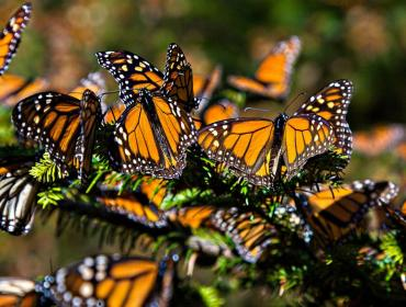Science on the Edge Lecture - The Migration of Monarch Butterflies: Past and Future