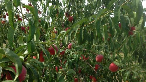 Meadowlark Farm Orchard & Cidery - Rose Hill