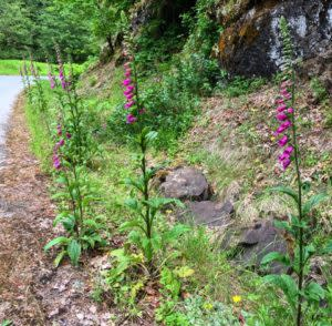 Foxgloves in Cottage Grove