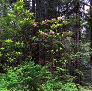 Rhododendrons in Cottage Grove