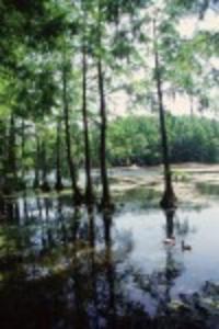 Greenfield Lake Cypress Trees