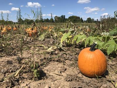 Sprawling pumpkin patch under blue sky