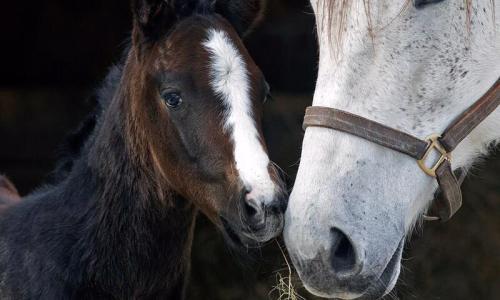 Sugar Plum Farm white horse with colt