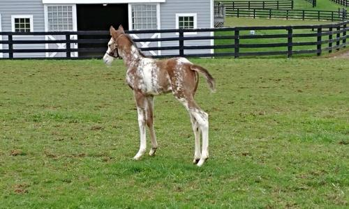 Sugar Plum Farm speckled colt in front of barn