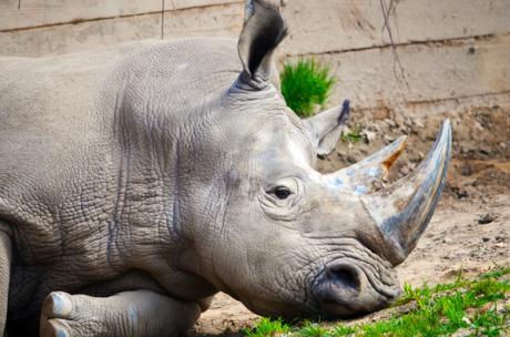 White Rhino at the Seneca Park Zoo in Rochester,NY