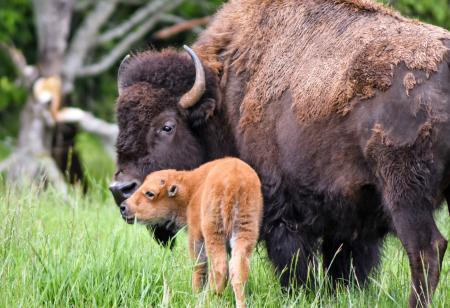 A bison mother and calf kiss at Northwest Trek Wildlife Park in May 2017