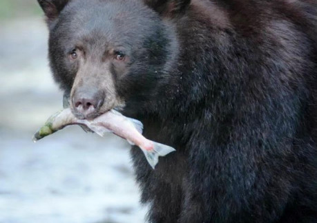 2549P3black bear.jpg