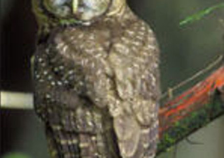 3430P3Northern Spotted Owl.jpg
