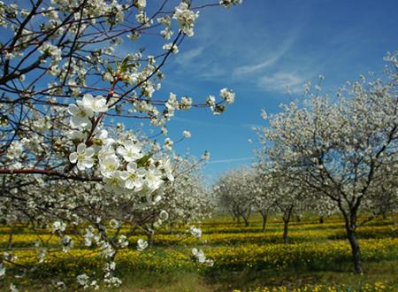 Cherry Blossoms on Leelanau Peninsula outside of Traverse City