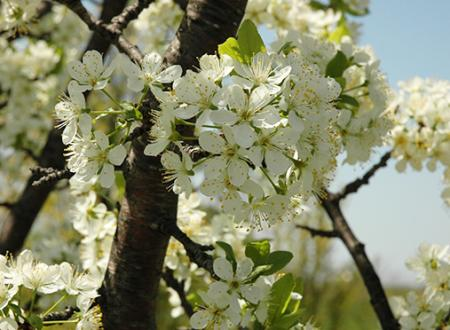 Cherry Blossoms along Old Mission Peninsula near Traverse City