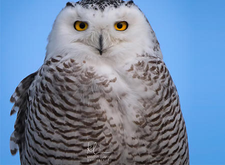Snowy Owl Up Close