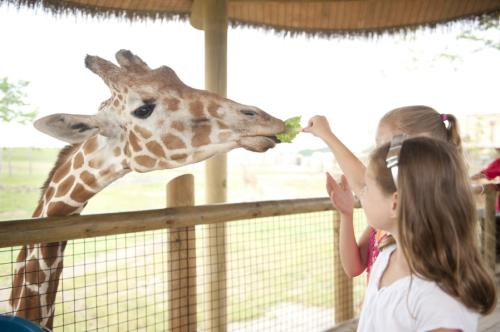 Two girls feedings a giraffe lettuce at the Columbus Zoo's Heart of Africa